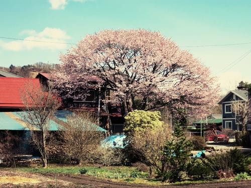 山桜が満開です♥ _f0236260_0592994.jpg
