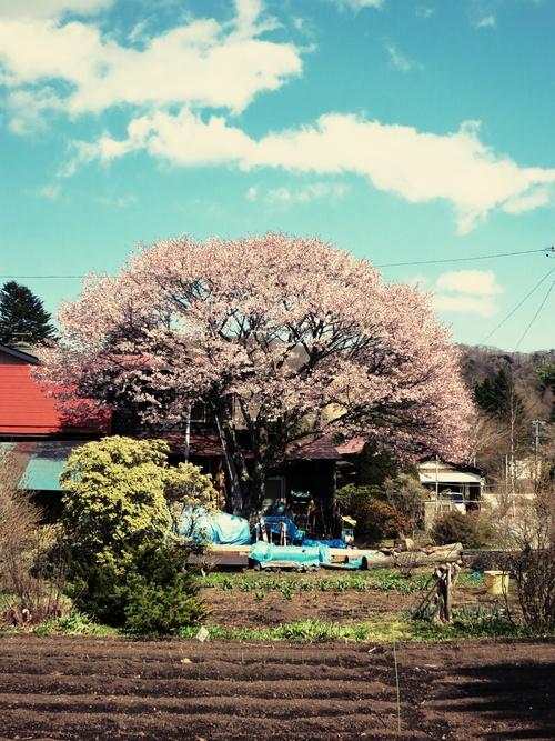 山桜が満開です♥ _f0236260_10129.jpg
