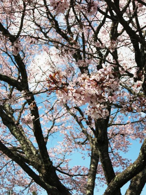 山桜が満開です♥ _f0236260_11355.jpg