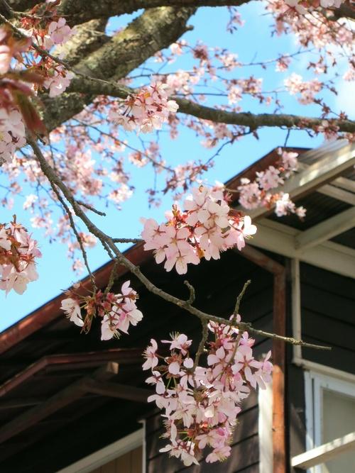 山桜が満開です♥ _f0236260_122150.jpg
