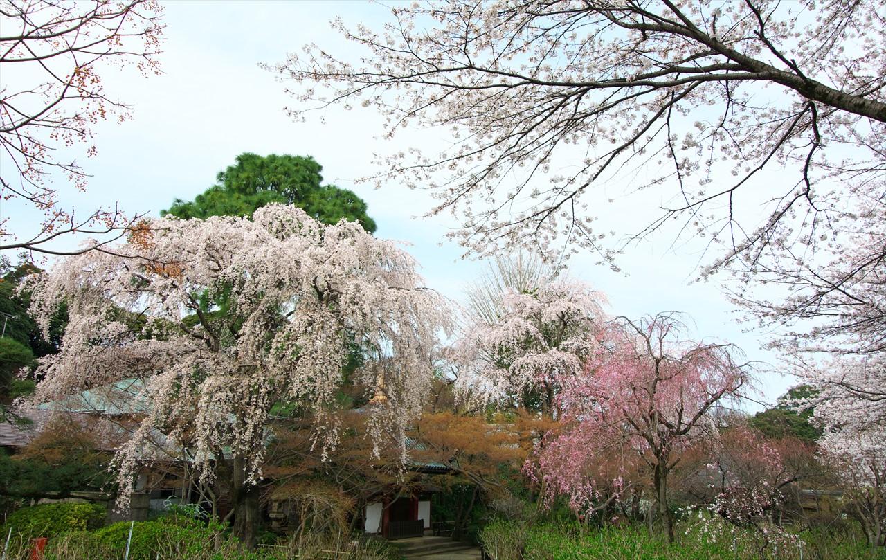 春の本土寺 2_f0018464_20424686.jpg