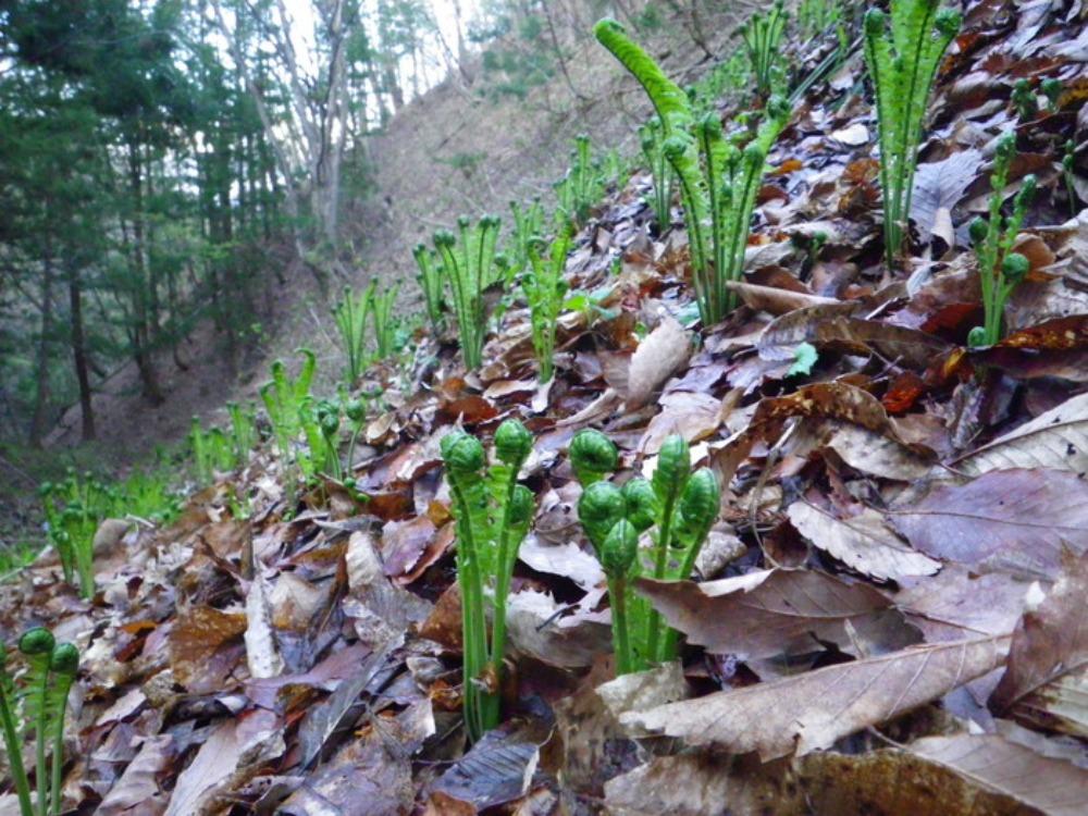 春の訪れ ~ コゴミ_f0170180_0375611.jpg