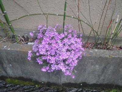 菜の花漬_c0223630_0193692.jpg