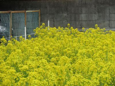 菜の花漬_c0223630_021611.jpg