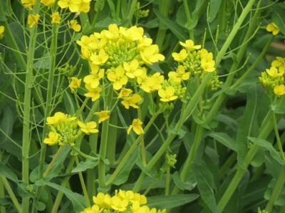 菜の花漬_c0223630_021737.jpg