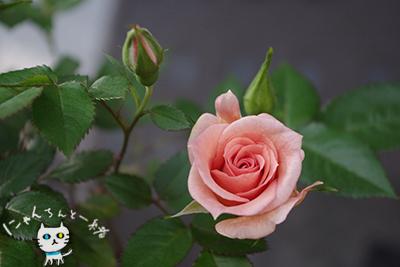 今年のミニ薔薇_e0031853_15274458.jpg