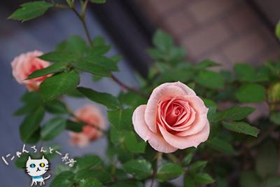 今年のミニ薔薇_e0031853_15275623.jpg