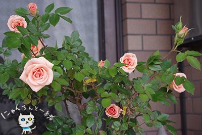 今年のミニ薔薇_e0031853_152876.jpg