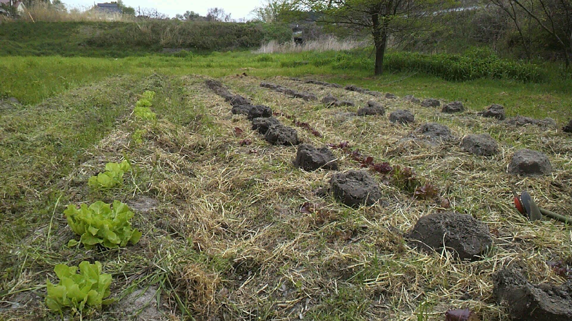 今年の里芋は3品種!_c0238355_20541077.jpg