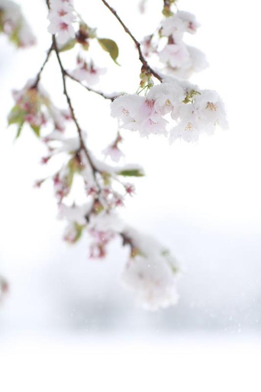さくらに雪_e0316158_1416739.jpg