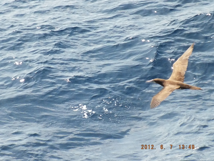 太平洋 ブラウンブービー The Pacific Ocean  Brown Booby_e0140365_23343159.jpg