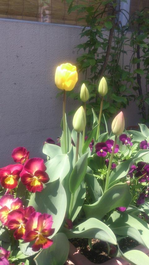 チューリップやっと咲いた!~ 赤い花はなんて言う花?_d0182179_14245517.jpg