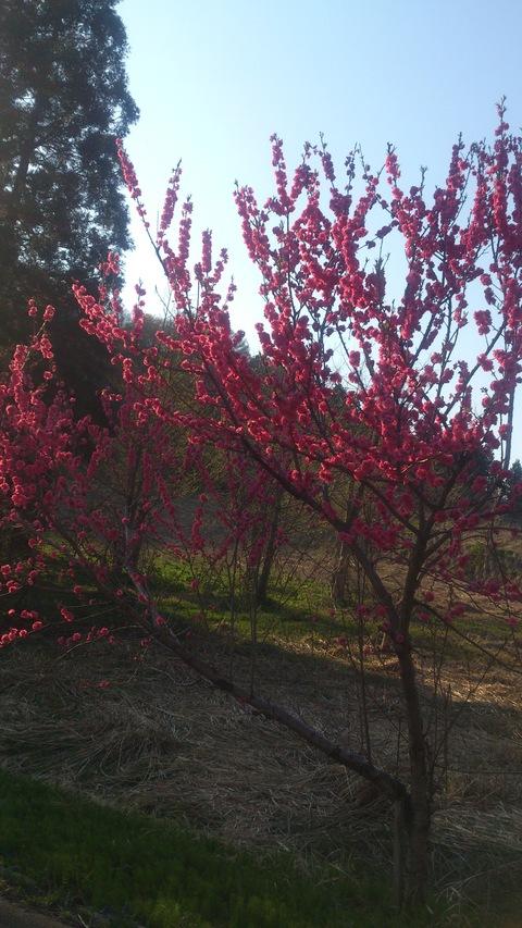 チューリップやっと咲いた!~ 赤い花はなんて言う花?_d0182179_14311666.jpg