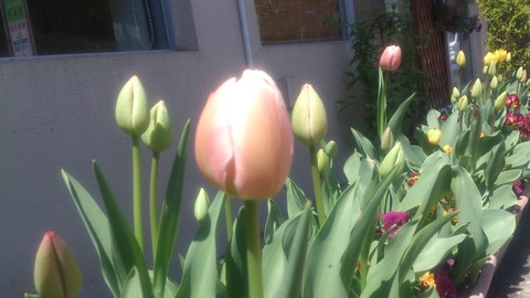チューリップやっと咲いた!~ 赤い花はなんて言う花?_d0182179_1445229.jpg
