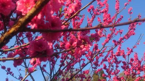チューリップやっと咲いた!~ 赤い花はなんて言う花?_d0182179_16158100.jpg