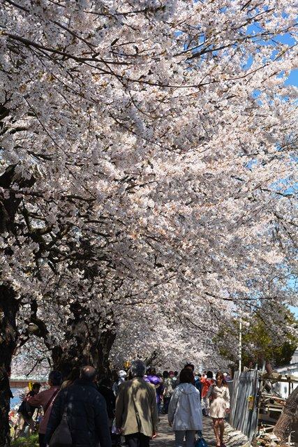 祝 ピーチ 関空~仙台就航!桜を追って、仙台・宮城へ!②_b0053082_1942188.jpg