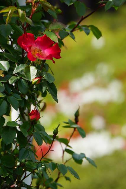 旧古河庭園_a0257652_0122440.jpg