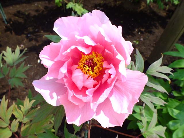 4月27日 町田ぼたん園その2_e0145782_1434971.jpg
