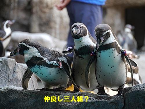 2013長崎帆船まつりとペンギン水族館 その1_b0175688_6594525.jpg