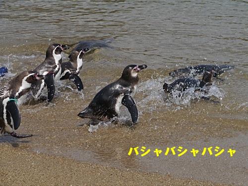 2013長崎帆船まつりとペンギン水族館 その1_b0175688_713279.jpg
