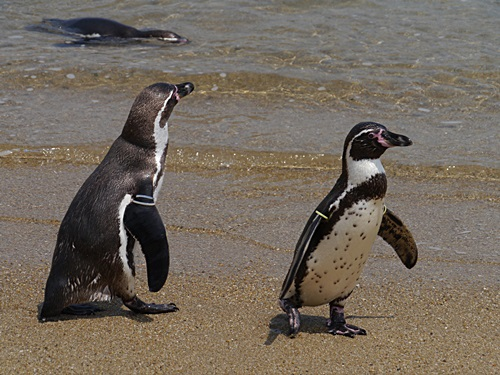 2013長崎帆船まつりとペンギン水族館 その1_b0175688_7154660.jpg