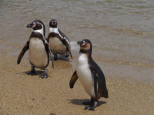 2013長崎帆船まつりとペンギン水族館 その1_b0175688_729108.jpg