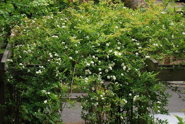 春の開花報告⑦_c0124100_1195856.jpg