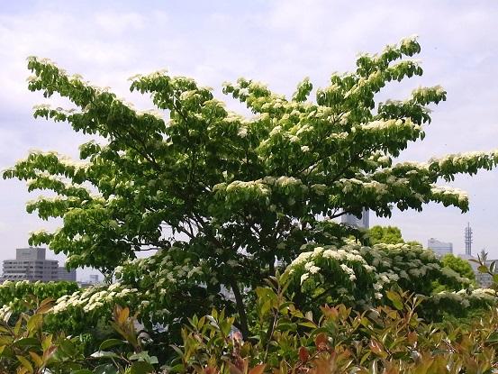 水木の花_c0192215_18211342.jpg