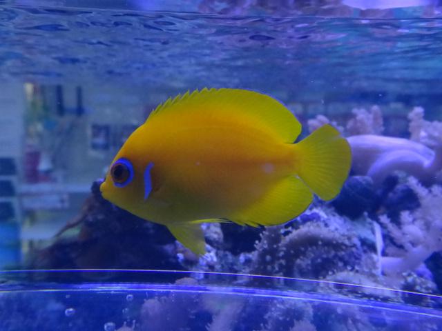 130501 海水魚・水草・淡水魚・金魚_f0189122_1219772.jpg