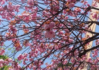2013年 倶利迦羅さん八重桜まつり 厄除け念仏赤餅つき_c0208355_1083683.jpg