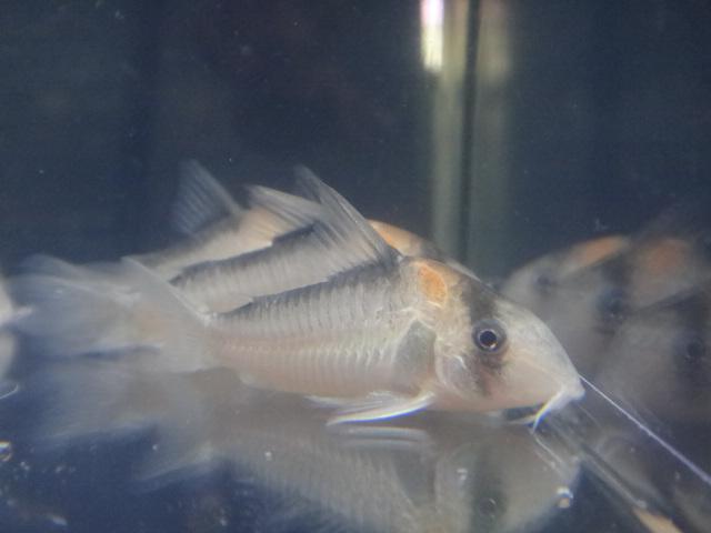 130502 熱帯魚・水草_f0189122_13132467.jpg