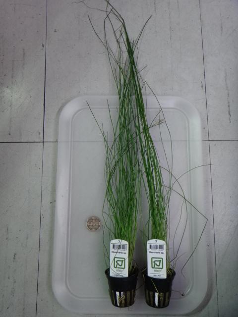 130502 熱帯魚・水草_f0189122_13205276.jpg