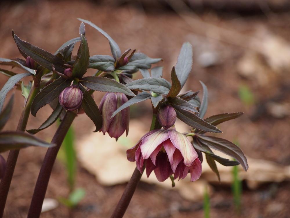 寒いG.W.だけど・・カンタベリーの春の花は順調に咲いています。_f0276498_23455936.jpg