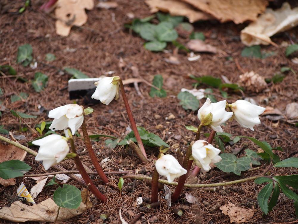 寒いG.W.だけど・・カンタベリーの春の花は順調に咲いています。_f0276498_2346890.jpg