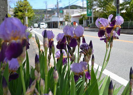 路傍の花、樹々の鳥(30) ~いずれアヤメか、カキツバタ~_b0102572_9554375.jpg