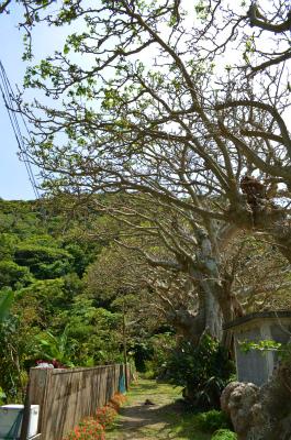 今年の諸鈍のデイゴ並木の花情報_e0028387_005537.jpg