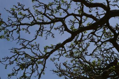 今年の諸鈍のデイゴ並木の花情報_e0028387_011760.jpg