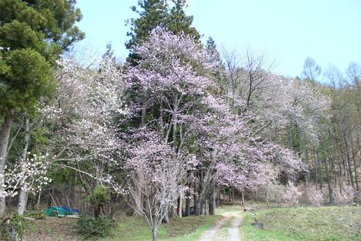 気づけば桜が・・・_f0227395_18334765.jpg