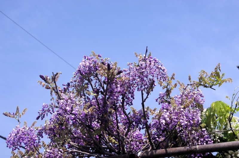 気になる木・楝の春夏秋冬