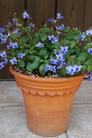 クレロデンドルム'ブルーウィング'in Pastry flower pot_d0229351_22385525.jpg