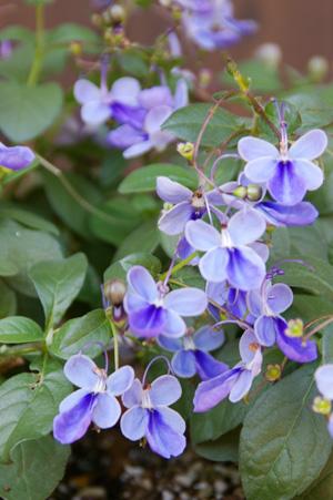 クレロデンドルム'ブルーウィング'in Pastry flower pot_d0229351_22385661.jpg
