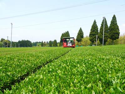 菊池水源茶 濃い色に育て上げ、茶摘!生茶の香り最高です!!_a0254656_17111263.jpg