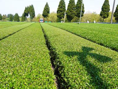 菊池水源茶 濃い色に育て上げ、茶摘!生茶の香り最高です!!_a0254656_18413086.jpg