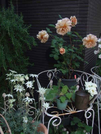 オークリーフ(おすすめの花鉢アジサイ)_f0049672_16583137.jpg