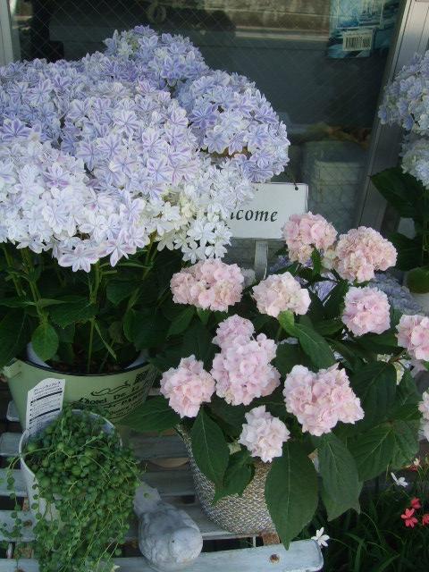 オークリーフ(おすすめの花鉢アジサイ)_f0049672_16585732.jpg