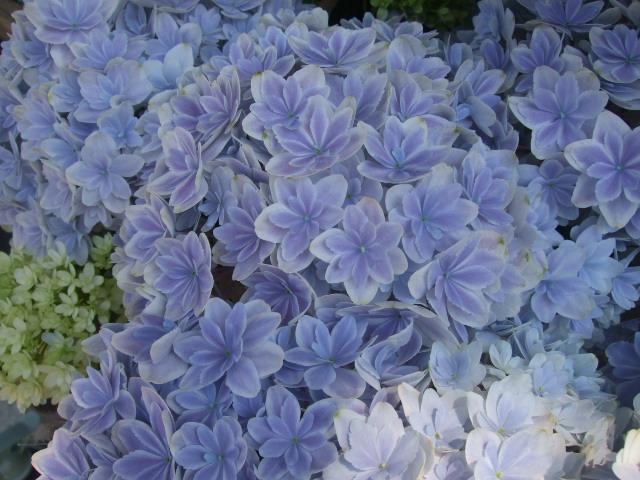 オークリーフ(おすすめの花鉢アジサイ)_f0049672_1732115.jpg