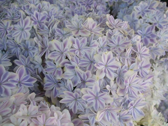 オークリーフ(おすすめの花鉢アジサイ)_f0049672_1735491.jpg