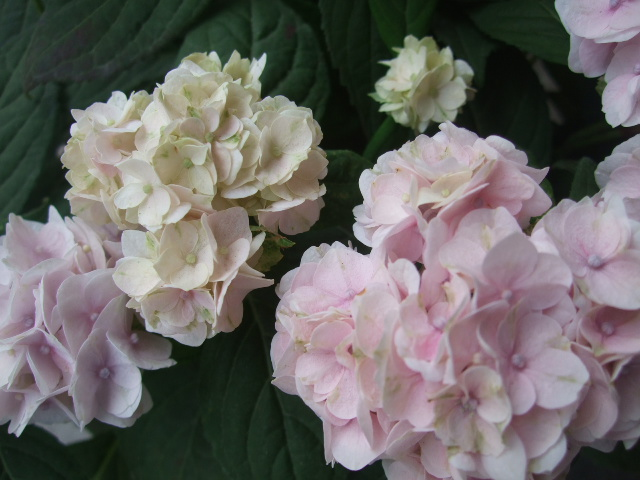オークリーフ(おすすめの花鉢アジサイ)_f0049672_1781741.jpg