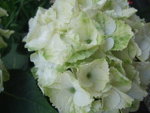 オークリーフ(おすすめの花鉢アジサイ)_f0049672_178244.jpg