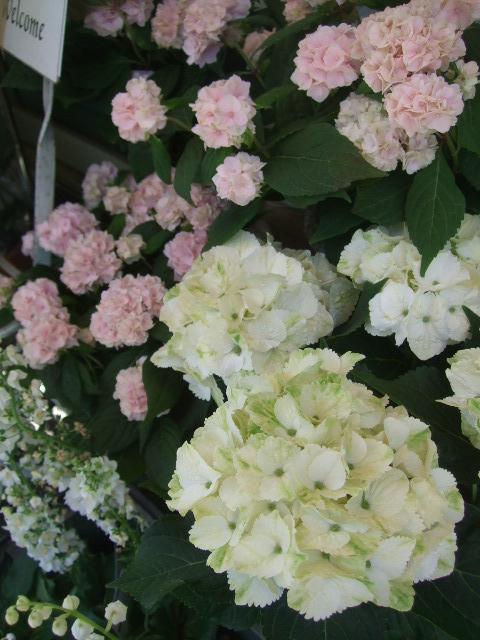 オークリーフ(おすすめの花鉢アジサイ)_f0049672_1783287.jpg